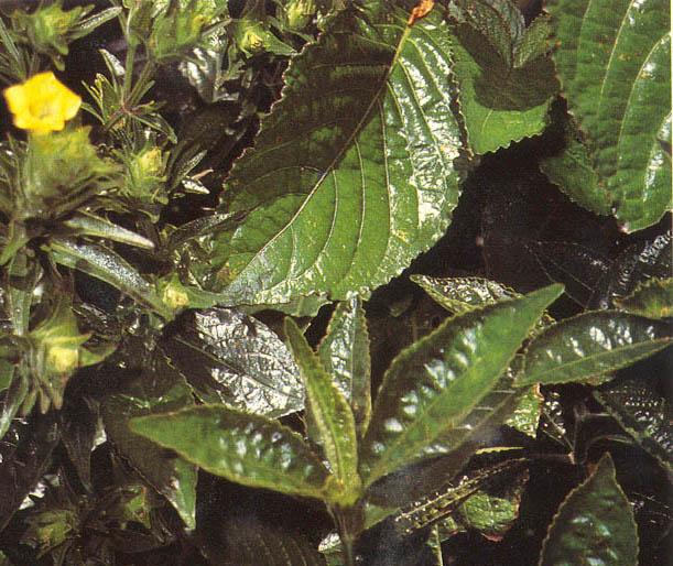 manfaat daun keji beling