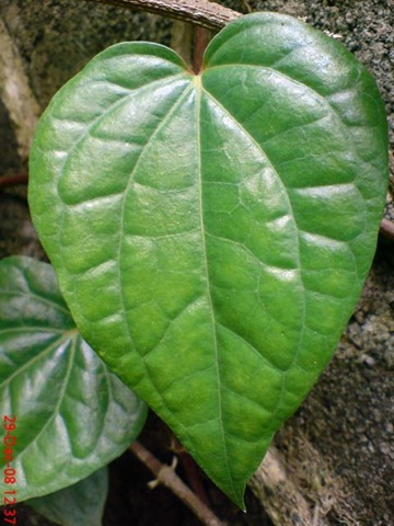 9 Tanaman Herbal Penghilang Bau Badan